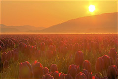 Skagit Valley Tulip Fields, Sunrise with fog, Washington State (Don Briggs) Tags: fog sunrise tulips sunflair tulipfields donbriggs 18200nikkorlens flipdownlcd nikond5100 skagetvalleytulipfieldswashingtonstate