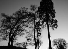 trees in the dusk (KLAVIeNERI) Tags: trees wales dusk gresford bwconverted leicaforum pantyrochain leicax1 leicaimages lightroom4 ilovemyleica photographersontumblr