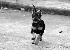 Rolo in black and white! ( B.H.B. PHOTOGRAPHY ) Tags: blackandwhite bw dog brown chihuahua flickr small running mixedbreed minpin rolo 2012 dogrunning blackandbrowndog twoeyedots minpinandchihuahuamix