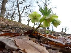 P1000075 (gzammarchi) Tags: verde italia colore natura campagna fiore elleboro montagna paesaggio monti camminata itinerario coniale firenzuolafi