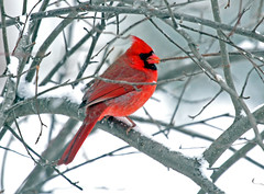 Northern Cardinal (shelshots) Tags: winter snow cold bird cardinal windy avian cardinaliscardinalis blustery northerncardinal avianexcellence 5wonderwall sunrays5