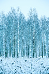 Silver birches (Appe Plan) Tags: blue trees sky white snow black cold ice nature clouds forest out landscape frozen nikon alone quiet view sweden young grow growth karlstad birch 28 mm 300 niko nikkor minus branche värmland appe d700