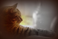 daydreaming (Bets<3 Fine Artist ~Picturing Light ~ Blessings ~~) Tags: mainethewaylifeshouldbe mainenortheasternunitedstates mainecoon cat domestic animal pet car window screen profile portrait nikon selectivecoloring tigerstripes