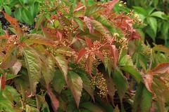 Parthenocissus (blondinrikard) Tags: gteborg summer july 2016 sweden gothenburg sverige parthenocissus grapes plant foliage vildvin