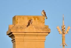 Nankeen Kestrels (Luke6876) Tags: nankeenkestrel kestrel chimney birdofprey raptor bird animal wildlife australianwildlife