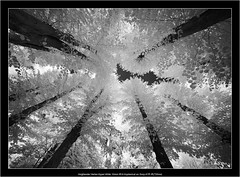 Voigtlander Heliar-Hyper Wide 10mm f/5.6 Aspherical on Sony A7R IR(720nm) (Dierk Topp) Tags: 720nm a7rir bw voigtlanderheliarhyperwide10mmf56aspherical clouds infrared nature sw sony superwide trees wood