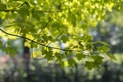 Summer joy (Edita Ruzgas. Thanks for your visit.) Tags: edita ruzgas nikon d7200 dof closeup oak leaves bokeh green summer sunny day
