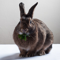 Winter Parsley (Jeric Santiago) Tags: animal bunny conejo hase kaninchen lapin pet rabbit winterrabbit うさぎ 兎