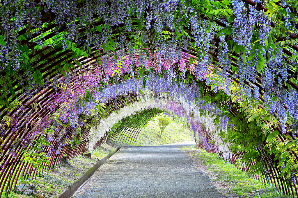 The World\'s Best Photos of tunnel and wisteria - Flickr Hive Mind