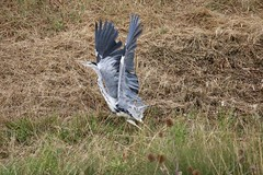 Heron Taking Off (aaron19882010) Tags: heron flying taking off inflight wildlife hunter bird wings longlegs fish eater outdoors outside nature reeds water canon 750d 600mm sigma grey white green black