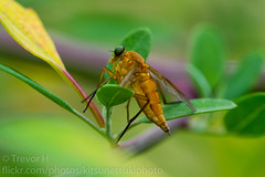 Robber Fly? (Kenjis9965) Tags: robber fly canon eos 7d ef 100mm f28l is macro insects small leaves garden sharp saturated