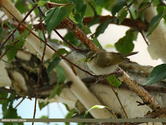 Western Crowned Warbler (Phylloscopus occipitalis) (gilgit2) Tags: avifauna birds canon canoneos7dmarkii category fauna feathers geotagged gilgit gilgitbaltistan imranshah location naltar pakistan species tags tamron tamronsp150600mmf563divcusd westerncrownedwarblerphylloscopusoccipitalis wildlife wings gilgit2 phylloscopusoccipitalis 6birds
