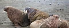 walruses on the beach (nick taz) Tags: walruses spitsbergen edgeoya beach wildlife