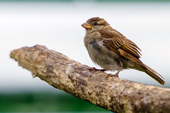 Sparrow portrait - Sony A7ii SEL70200G (SparkleHedgehog) Tags: sony a7x a7 a7ii a7m2 a7r a7rii a7rm2 a7s a7sii a7sm2 alpha nex csc ilce emount e mount mirrorless mirror less glens lens portrait close up closeup gold sparrow bird birds birding irder birder perch perched branch beak feather wing shot beautiful lovely gorgeous rspb parrot zoo wildlife park lincolnshire lincoln friskney lincs boston skegness tiger handheld fe femount full frame fullframe ff