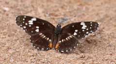 CAD0003839a (jerryoldenettel) Tags: 2016 belen borderedpatch chlosyne chlosynelacinia nm nymphalidae nymphalinae valenciaco whitfieldwildlifeconservaatinarea butterfly insect patch