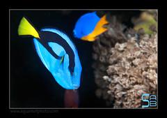 ALAIN1hepatus6585 (kactusficus) Tags: marine reef aquarium alain captive ecosystem rcifal acanthuridae chirurgien surgeonfish tang paracanthurus hepatus dory blue pacific