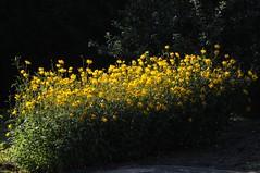 Gewhnlicher Sonnenhut, Rudbeckie (Rudbeckia fulgida var.); Mildstedt, Nordfriesland (1) (Chironius) Tags: husum schleswigholstein nordfriesland deutschland germany allemagne alemania germania    ogie pomie szlezwigholsztyn niemcy pomienie stadt asterids campanuliids asterales korbbltler asteraceae asteroideae heliantheae gelb blte blossom flower fleur flor fiore blten    explore