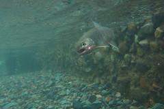 DSC_3007 (touhenboku) Tags: yamame iwana      fly flyfishing