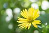 Silphium laciniatum (MikaJC) Tags: silphiumlaciniatum bokeh yellow flowers compassplant centuryplant cupplant indiancupplant