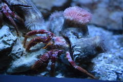 Dardanus calidus (badit_boy) Tags: paguro bernardo calliactisparasitica attinia carapace chele aquarium spagna