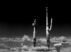 Somewhere Along I10 (LXG_Photos) Tags: 645 645e 80f19 rolleiretro80s southwest analog bw film monochrome cactus desert arizona infrared ir singhrayir