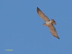 Joven de Culebrera europea (Circaetus gallicus) (3) (eb3alfmiguel) Tags: aves rapaces diurnas culebrera europea