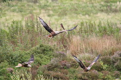 Red Kites (seentwistle) Tags: bwlch nant yr arian mid wales red kites kite birds prey