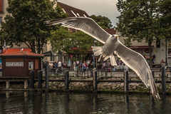 seagull's atack (bocero1977) Tags: trees water warnemnde wildlife green animal nature bird germany sky outdoor seagull balticsea harbour clouds