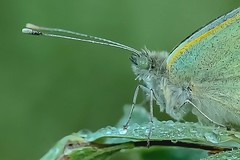 Koolwitje - Small white - Pieris r. (By Yves) Tags: butterflies macro 65mm extension tube ii early morning dewdrops ngc
