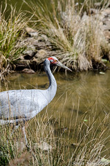 _SLN9743 (sonja.newcombe) Tags: tid tidbinbilla australia canberra wildlife brolga birds bird nikon d7000 sigmalens
