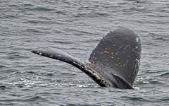 Monterey Bay - California / USA (Udo S) Tags: animal whale wal ocean meer usa
