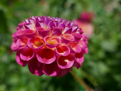 Like horns - Dahlia in bold pink, yellow and purple (Monceau) Tags: dahlia parcfloral curled petals raspberry color ball
