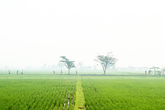 Cikoneng, Bandung (Indonesian-based photographer & story teller) Tags: alfianwidi sawah rural nonurban green hijau pagi morning