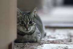 cat ANAiS best (106) (RaceGN) Tags: beauty pretty nikon nikkor d50 portrait animal dof bokeh backround 8g racegeneral anais 85mm f18 cat