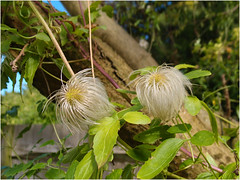 Day 256 Challennge 18 - Pairs (Dominic@Caterham) Tags: tree pairs clematis