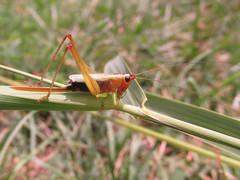 Conocephalus nigropleurum (tigerbeatlefreak) Tags: katydid tettigoniidae orthoptera insect wisconsin conocephalus nigropleurum