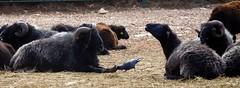 Sance patticure (stephphoto8184) Tags: sance pattes oiseau zoo barben troupeau mouton