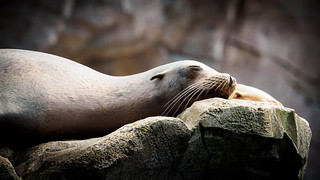 Relaxed Sea Lion - Stadtgarten Karlsruhe, Germany
