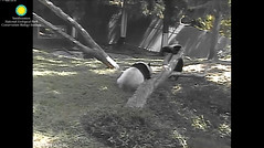 2016_09-05c (gkoo19681) Tags: beibei meixiang upsidedown dangling sillygoober sillycubby playtime ccncby nationalzoo