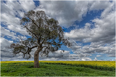 The canola tree (RissaJT_23) Tags: canola canolafield goldencanola canon canon6d canoneos6d canon1740mm clouds country countryvictoria australianlandscape australiancountry tree landscape field