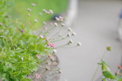 Tiny flowers (tammydesu) Tags: tiny small flowers flower pink white nature macro landscape summer