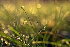 elements of light (joy.jordan) Tags: grass dew light bokeh morning blur 52by52