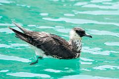 Skua (Matthijs Hollanders) Tags: oman nature bird skua jager jaeger