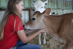 IMG_3308 (UGA College of Ag & Environmental Sciences - OCCS) Tags: teachingdairy ugateachingdairy cow kaylaalward holstein jersey calf calves studentworker collegeofagriculturalandenvironmentalsciences animalanddairyscience babycow athenscampus barn dairybarn