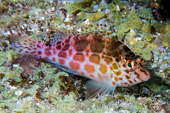 Pixy Hawkfish - Cirritichthys oxycephalus (zsispeo) Tags: scuba diving tropical reef fish underwater macro macrophotography sea ocean holidays vacation summer sun beach relaxation coral fauna wildlife wild colorful geotagged science scientific name taxonomy travel sustainable ecotourism life aquatic beauty beautiful planet earth mother nature animal closeup biology id identification maritime souvenir living world favorite national geographic natural naturally landscape digital slr free padi fishporn rare saltwater turquoise blue conservancy dive quality escapade tourism scenery wet pixel wetpixel outside outdoors