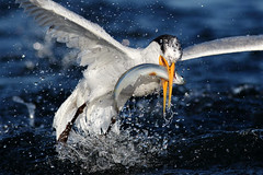 Quick Grab! (bmse) Tags: elegant tern bolsa chica fish fishing bmse salah baazizi wingsinmotion canon 7d2 400mm f56 l