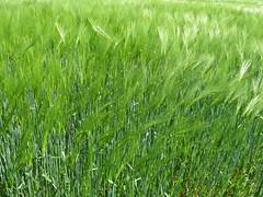 Grser und Getreide (Bea tedo) Tags: gras wiese natur grn getreide