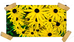 Yellow (thepicturedrome) Tags: rudbeckia in garden macclesfield