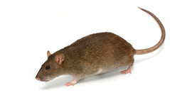 Pests Mice Rats Etc (British_Pest_Control_Association) Tags: rat pestis pet medical animal brown gray grey epidemic background close cute domestic ear experience experiment eye face fear fluffy funny fur furry hair hairy hamster hanging head isolate isolated looking macro mammal mouse nose paw plague portrait run shy small spot symbol tongue up white russianfederation