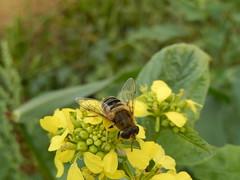 Puntbijvlieg (Eristalis nemorum) (Frank Berbers) Tags: noordbrabant insect puntbijvlieg eristalisnemorum diptera tweevleugeligen zweefvlieg syrphidae